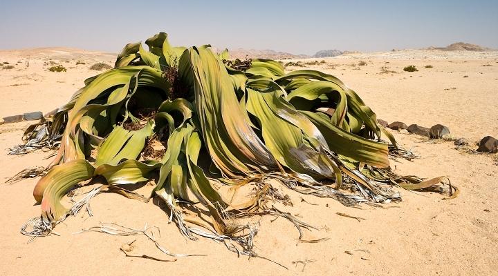 welwitschia-720×400